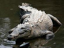 American crocodile