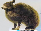 Amami rabbit
